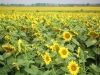Sunflowers - Danube valley