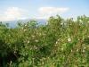 Oil-yielding bulgarian roses