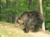 A bear from Belitsa