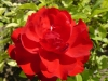 Red bulgarian rose