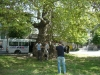 SE group with the five hundred year old plane tree