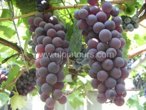 Delicious Bulgarian grape